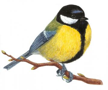 sýkorka bielolíca (Parus major)