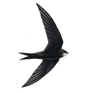 Dážďovník tmavý (apus apus)