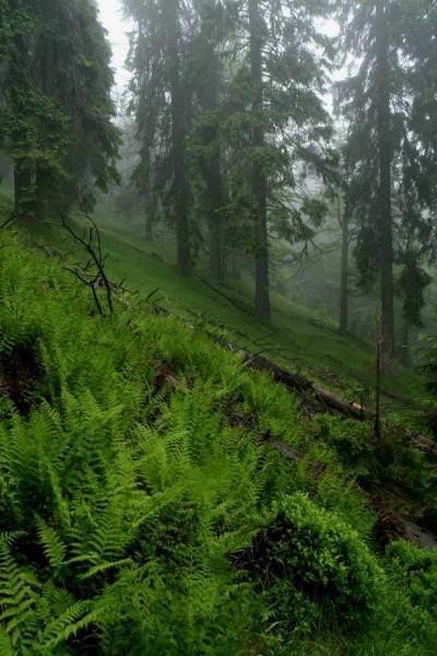 Obr. 1 prales v prírodnej rezervácii svrčinník